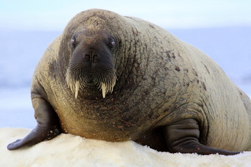 Walrus on ice floe in Canada