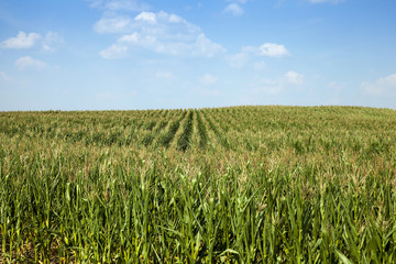 corn field, agriculture