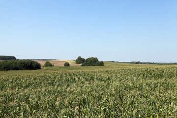 Field of green corn