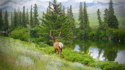 Beautiful of male Elk walking back to forest after ate