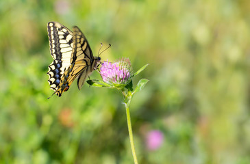 A Old World swallowtail sits on a summer meadow