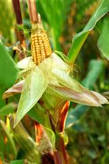 Corn in the field closeup.