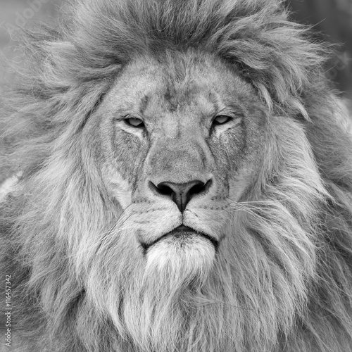 Male Lion Black And White Images