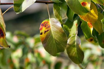 pear foliage in autumn