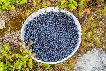 Blueberries on a plate outdoors in bushy vegetation.