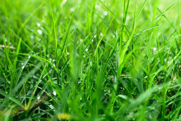 Green grass close up background with sunlight
