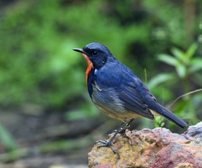 Firethroat (Luscinia pectardens) the beautiful grey and blue bir