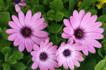 Purple Daisies Gerber Gerbera Flower Bouquet