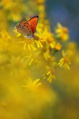 Red butterfly Lycaena virgaureae