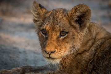 Starring young Lion cub in the Kruger National Park.