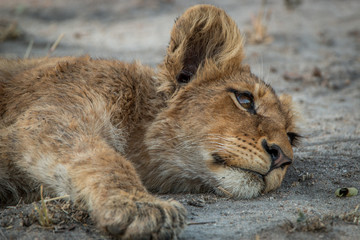 Lion cub laying down in the Kruger National Park.
