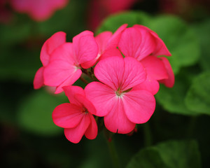 beautiful pink geraniums flower in nature
