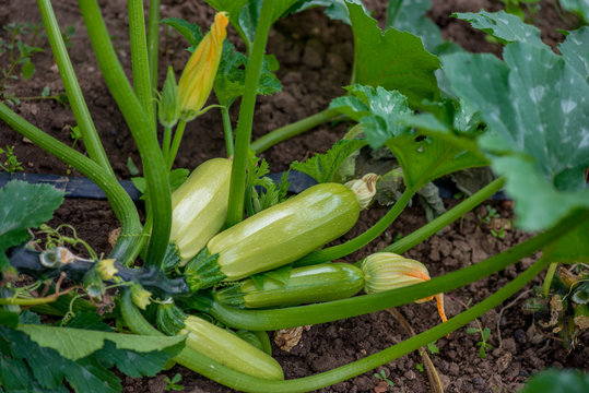 Flowering and ripe fruits of zucchini in vegetable garden