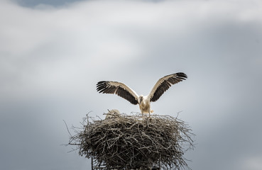 White stork in its nest  Bird photography with a beautiful white stork, as it stays with the wings wide open on its big nest. Scientific called Ciconia ciconia, the white stork is a carnivorous bird