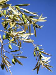 Ramas de olivo con aceitunas verdes y cielo azul