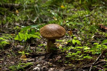 Birch mushroom. Forest mushroom.