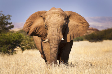 Fotorolgordijn Olifant Elephant in the savannah, in Namibia, Africa, concept for traveling in Africa and Safari