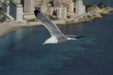 Gaviota, seagull, calp, calpe, costa blanca, valencia, tourism, turismo, alicante, alacant