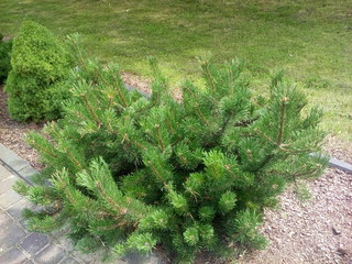 krzew ogrodowy