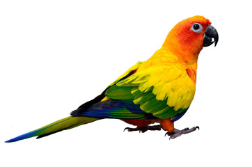 Sun parakeet or sun conure (Aratinga solstitialis) the lovely ye Fotomurales