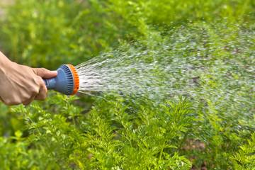 hand watering carrot in the garden