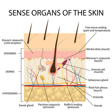 Cross section human skin.