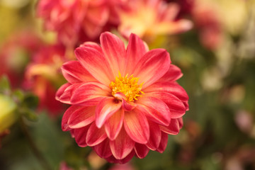 Pink Dahlia flower is found in Mexico and is the national flower.