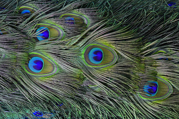 The exotic velvet green and blue spots on Indian Peacock or gree