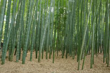 Bamboo garden in Japan