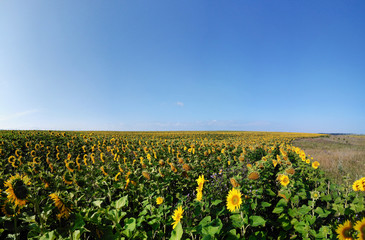 Panorama field of sunflowers