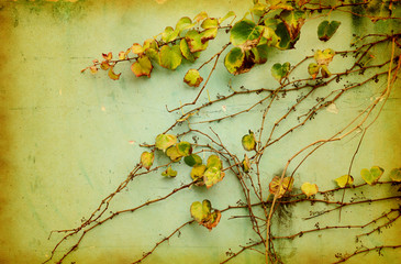 Wall Mural - green ivy on old grunge antique paper texture
