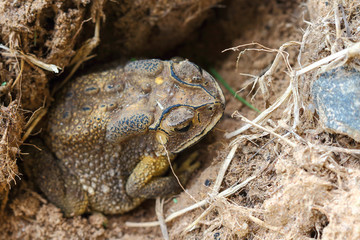 toad in Thailand