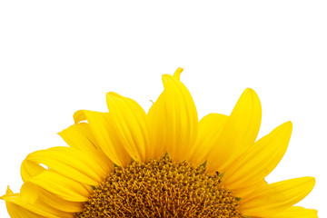 sunflower isolated on white background,with copyspace