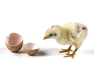 Chicken From Egg