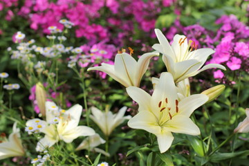 background with lilies / delicate flowering plant in the garden in the summer