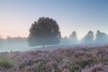oak tree and flowering heather in misty morning