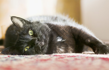 a black cat lies on the carpet of red colored in Home and is resting in sunlight, looking at you