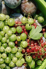 the summer harvest of berries - gooseberries , currants - close-up, top view