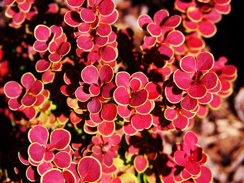 Berberis thunbergii 'Orange Sunrise' - barberry