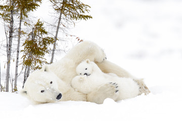 Polar bear mother (Ursus maritimus) with two cubs, Wapusk National Park, Manitoba, Canada