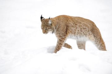 Tuinposter Lynx Eurasian Lynx (Lynx lynx) walking in snow, Germany