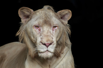 Head of white lion.