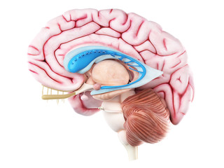 3d rendered medically accurate illustration of the caudate nucleus