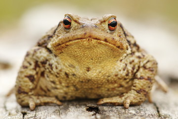 common toad portrait