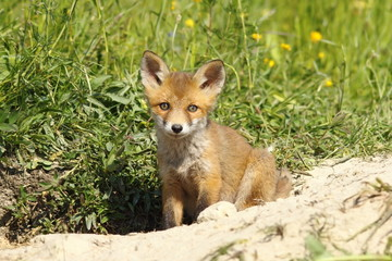 cute fox puppy looking at the camera