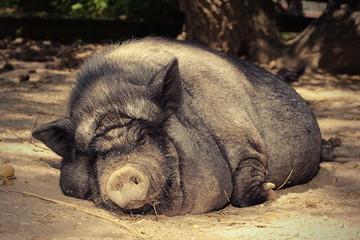 fat lazy pig