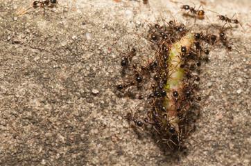 Big headed ant team work to move big worm