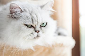 Beautiful american shorthair cat