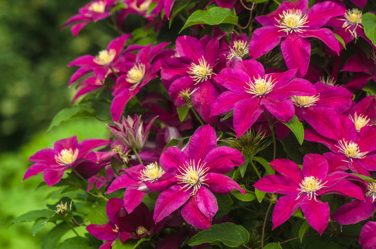 purple clematis in garden