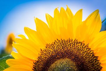 Sonnenblumen - The sunny side of flower power
